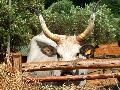 Vacca Maremmana